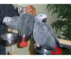 Buy African Grey Parrots and Eggs