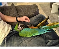 Miligold Baby Hybrid Macaw 6 Months Old, Very Tame