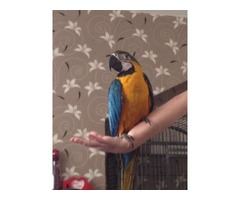 Tamed Blue And Gold Macaw