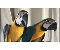 Blue and gold macaws currently available cocks and hens amazing parrots unbelievably tame