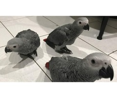 African greys. Blue and gold macaws.  Harliquin macaws. Double yellow headed amazons.