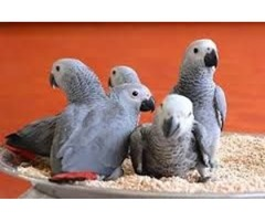 HAND REARED TALKING AFRICAN GREY PARROTS