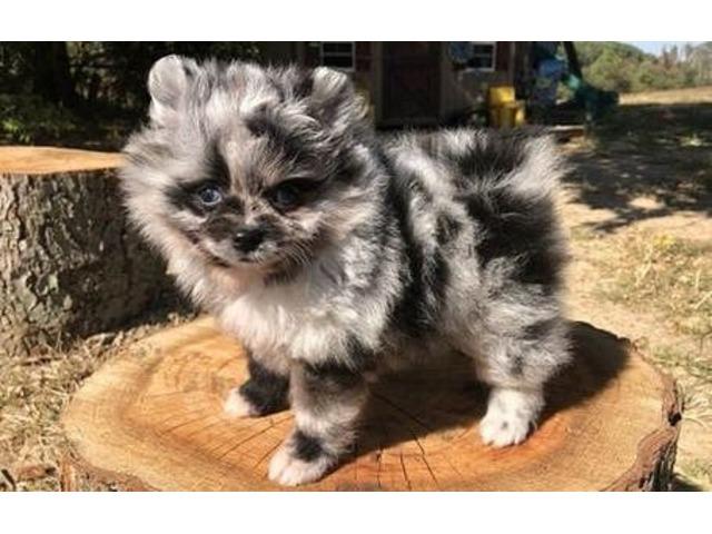 Tiny Pomeranian Puppies For Sale Animals Arizona City