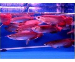 24 K Golden Arowana Fish , Chili Red Arowana, Asian Super Red Arowana Fish