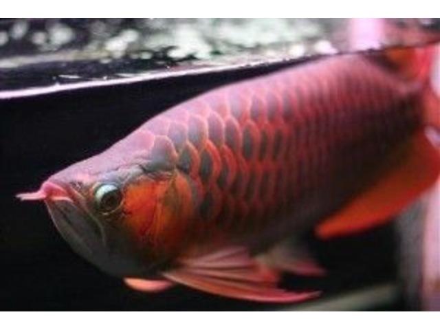 24 K Golden Arowana fisk, Chili Red Arowana, asiatisk Super-5542