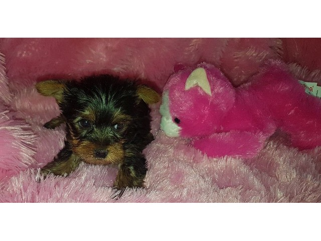 Teacup Yorkie Puppies For New Homes Animals California City