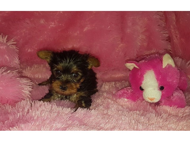 Healthy Tea Cup Yorkie Puppies For Sale Male And Female Animals