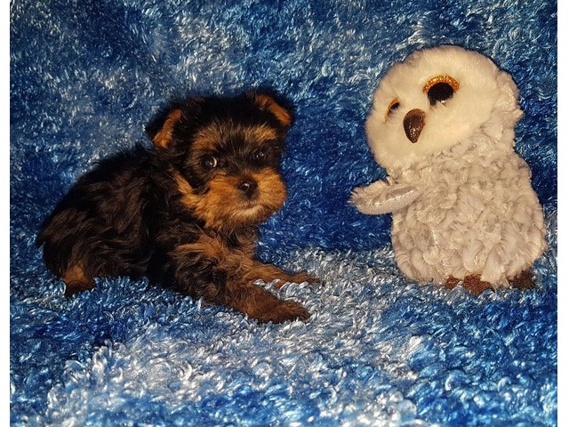Teacup Yorkie Puppies Available Animals Chicago Illinois
