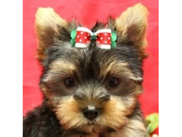 Teacup Yorkie Puppies Available Animals Canyon Country