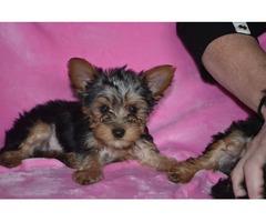 Yorkies puppies adorable