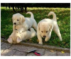 Amazing & very affectionate golden retriever puppies looking for rehoming