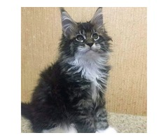 Adorable Maine Coon kittens for rehoming
