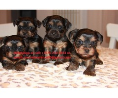 Cutest Teacup Yorkie puppies Ready for Adoption