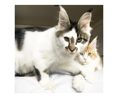 Tica registered maine coon kittens for sale