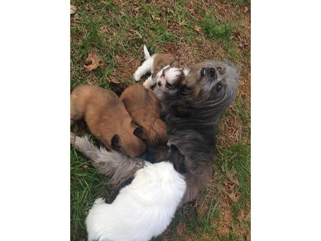 Shih Tzumaltese Puppies For Sale Animals Cleveland Georgia