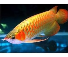 Stingrays and Arowana fishes for sale 614-662-2151