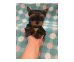 Our Newest Additions Of Yorkie Puppies
