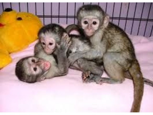 Capuchin monkeys available for adoption | free-classifieds-usa.com