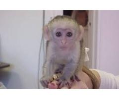 Lovely male and female Capuchin monkeys