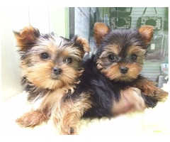 Cute Yorkie Pupies For Sale