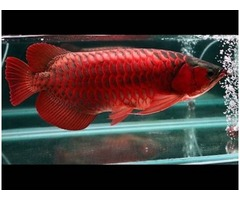 Asain Red, Super Red, Arowana Fish For Sale Now