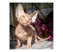 Beautiful male and female sphynx kittens
