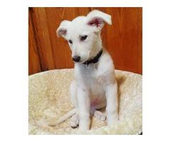 White AKC German Shepherd Puppies