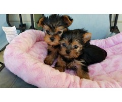 tripled wormed. yorkie puppies available