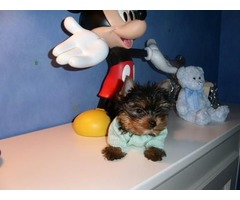 Two Teacup Yorkie Puppies Needs Now Ready