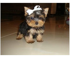 male and female AKC registered Healthy yorkie available