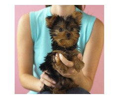 Pure breed male Yorkie puppy needs rehoming, .so adorable, healthy