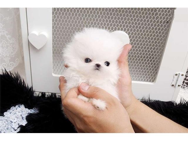 Adorable Pomeranian Puppies For Adoption Animals Houston Texas