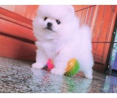 Pure breed Pomerainian puppies