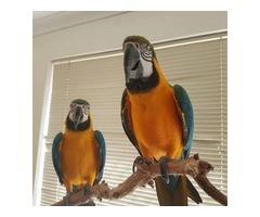 Lovely pair Blue and Gold Macaw parrots
