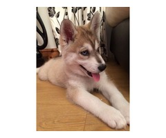 beautiful siberian husky puppy