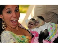 Cute Bottle feed Twins Baby Capuchin Monkey for Sale