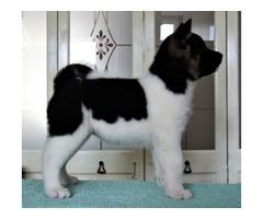 Priceless Male AKITA Puppy