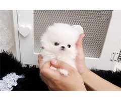 Cute Teacup Pomeranian Puppies