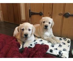 Two Beautiful Labrador Puppies