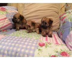 Super Adorable Morkie Puppies for good homes