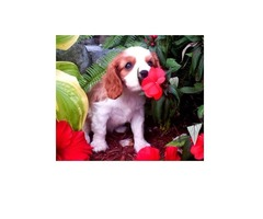 Healthy and Beautiful Cavalier King Charles Spaniel puppies