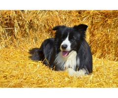 Take advantage of all benefits that Stirling Collies offers