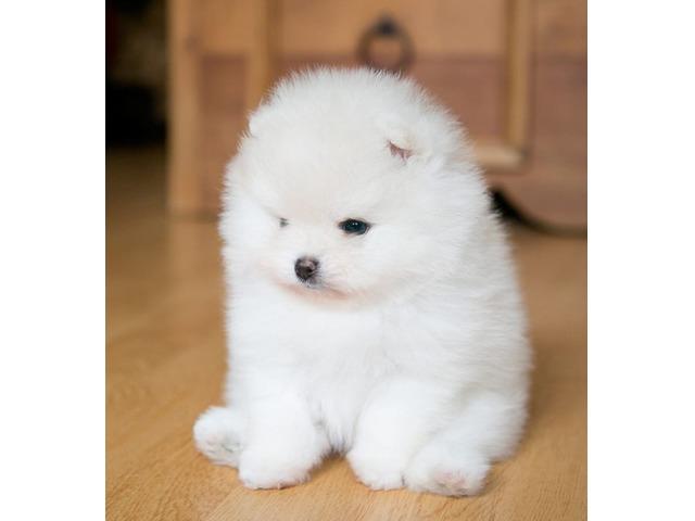 Stunning pomeranian puppies    free-classifieds-usa.com