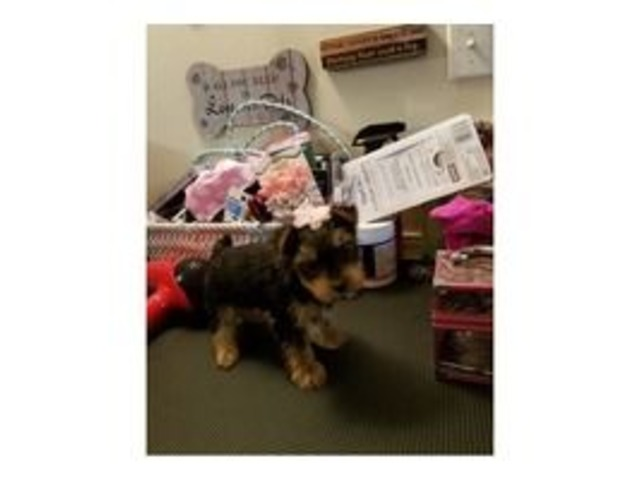 Tiny Yorkie Puppy Animals Carbon Cliff Illinois Announcement
