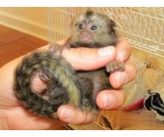 Baby Marmoset monkeys for Rehoming