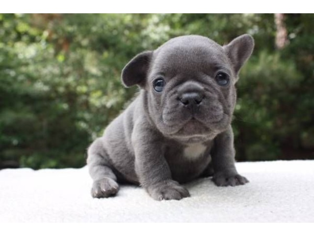 French Bulldog Puppies Available Everything Else Ads Modesto