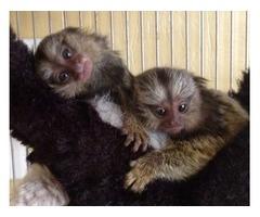 Friendly marmosets monkeys for adoption