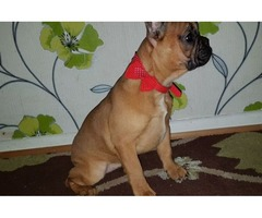 Sweety French bulldogs for sale