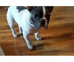 French bulldogs available for a loving home | free-classifieds-usa.com