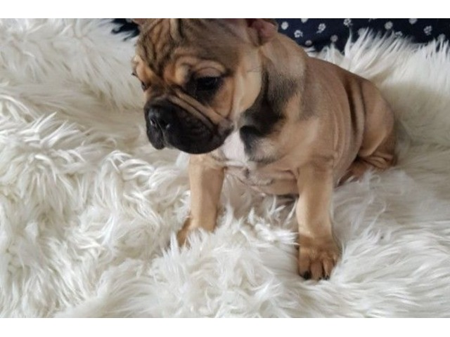 Beautiful French bulldogs available for a good home | free-classifieds-usa.com